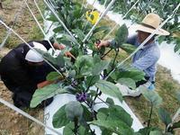 写真:野菜の就農研修風景
