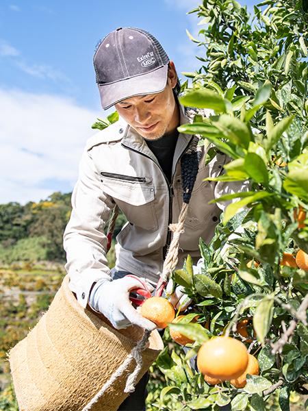 写真:藪内さんがみかんを収穫する様子
