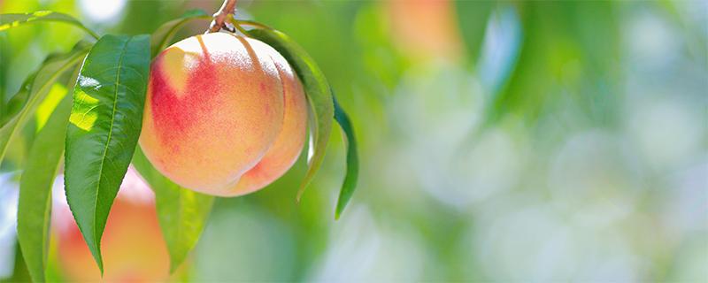 写真:和歌山の桃