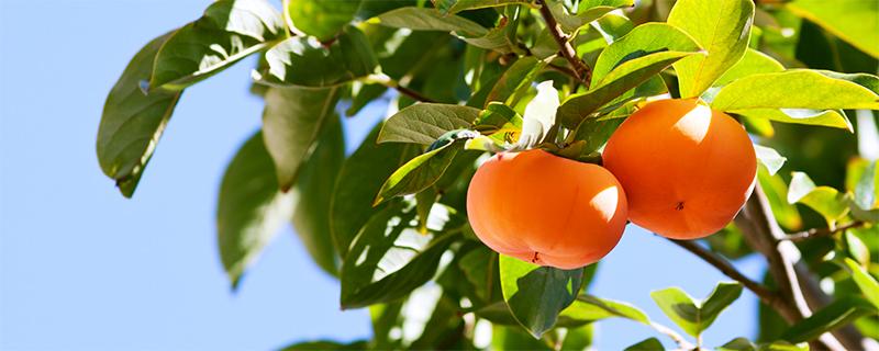 写真:和歌山の柿