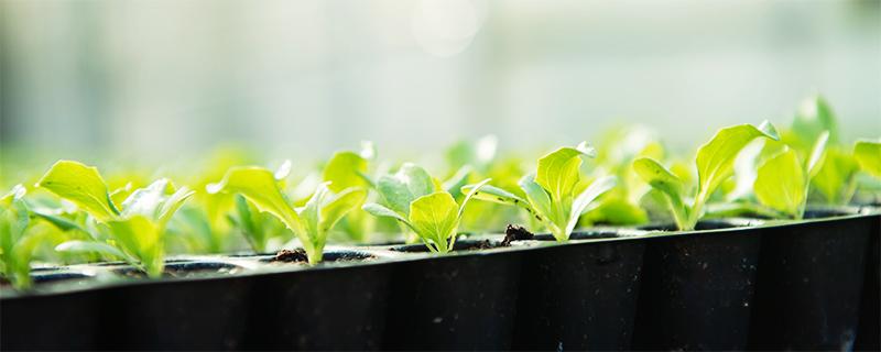 写真:レタスの苗が並んでいる様子